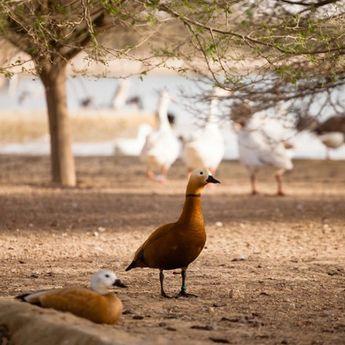 Životinjsko carstvo na Al Qudra jezerima (FOTO)