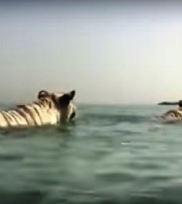 VIDEO DANA: Tigrovi se brčkaju kod Burdž al Araba
