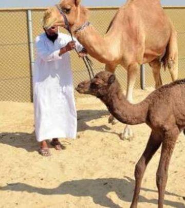 Svetska senzacija: U Dubaiju rođena prva kamila iz epruvete!